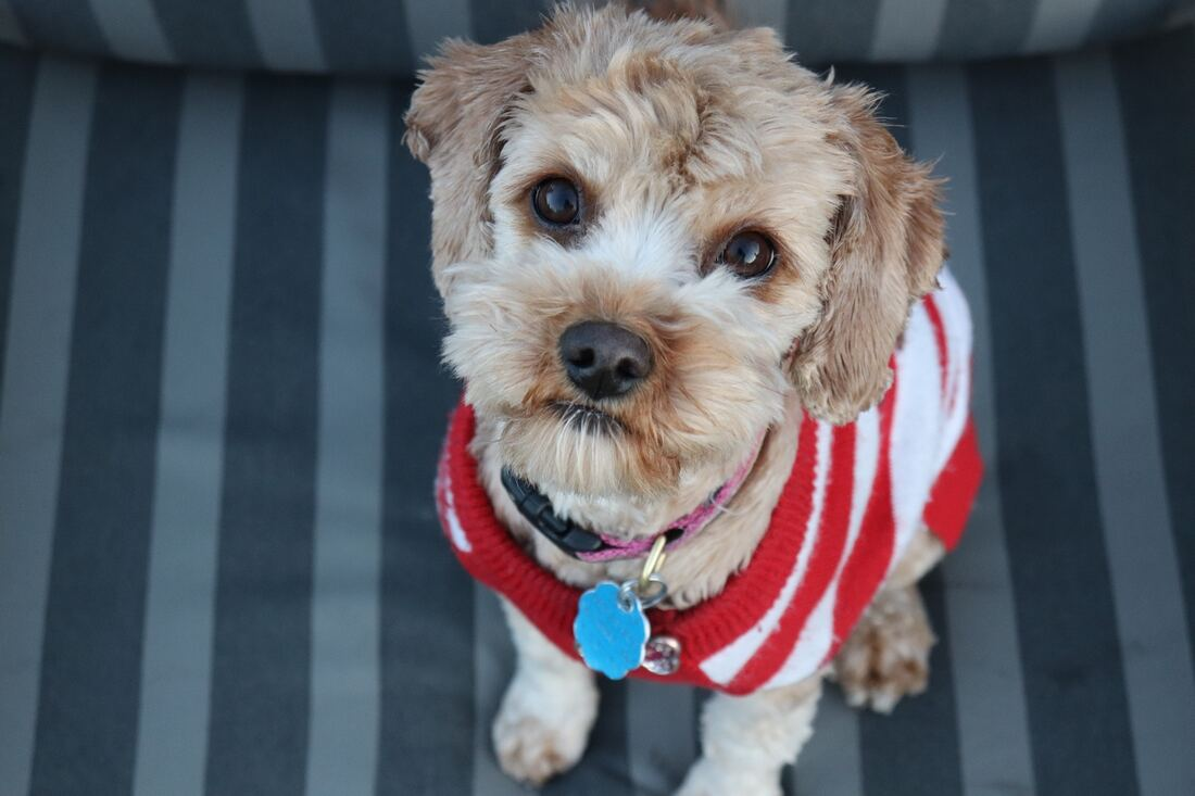 Cream coloured dog wearing red sweater looking up at the camera